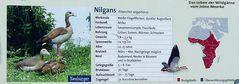 Die Nilgans  - Neuansiedlung in Neuss