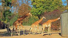 Die Nördlichen Kordafon Giraffen müssen doch Gene von den Gänsen haben...