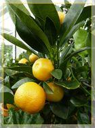 die Orangen sind reif