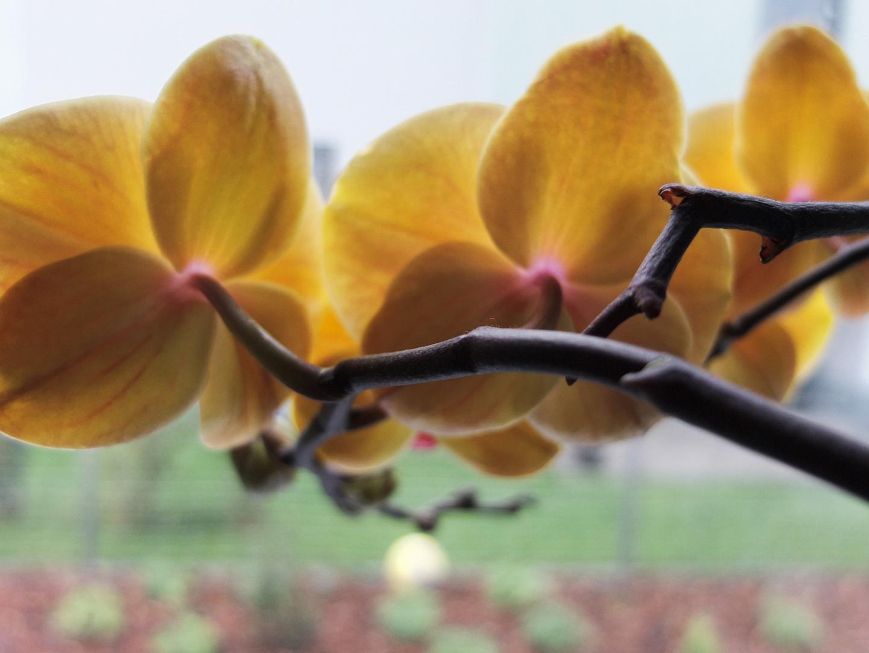 Die Orchidee am Fenster