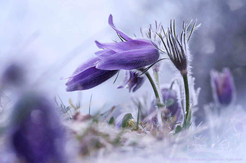 Die Osterblume