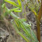 Die Paarung der Gottesanbeterin.......   (Mantis religiosa)