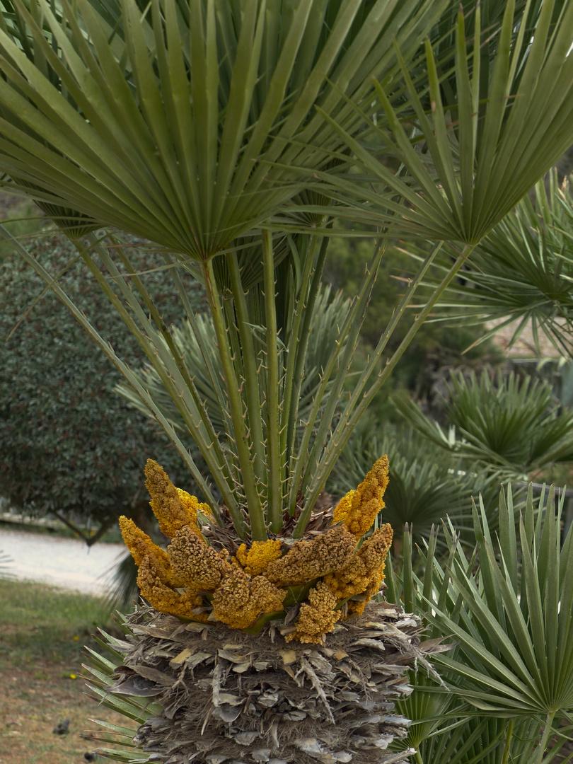 Palme Blüht