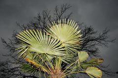 Die Palme vor Laubbaum
