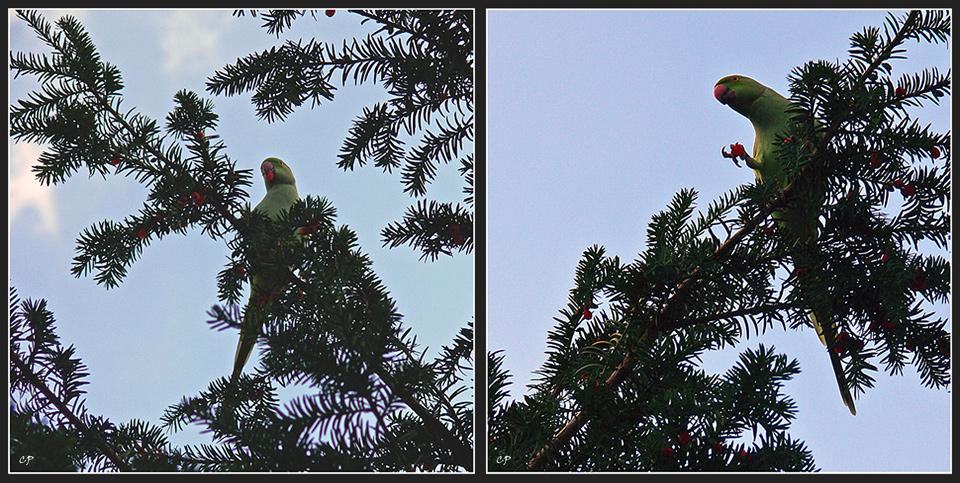 Die Papageien von Wiesbaden