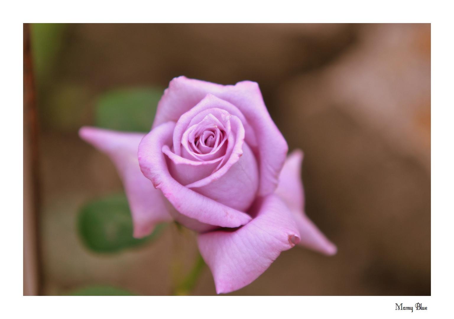 Die Parfumrose -Mamy Blue-