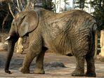 Die Patriarchin im Basler Zoo