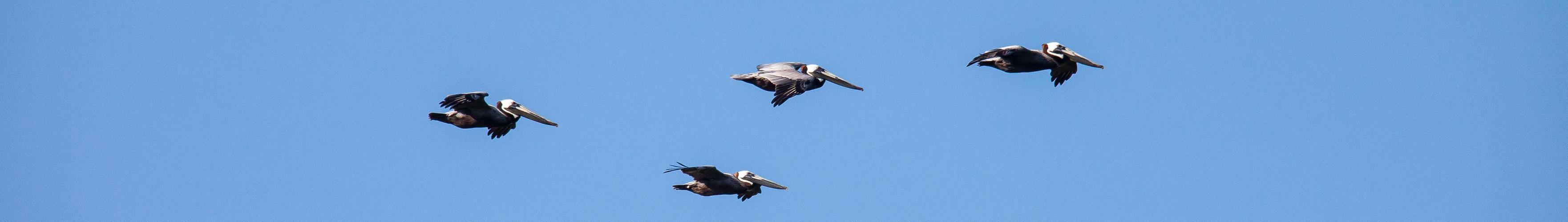 Die Pelikan - Gang