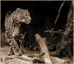 Die persische Leopardin Azizam  ...