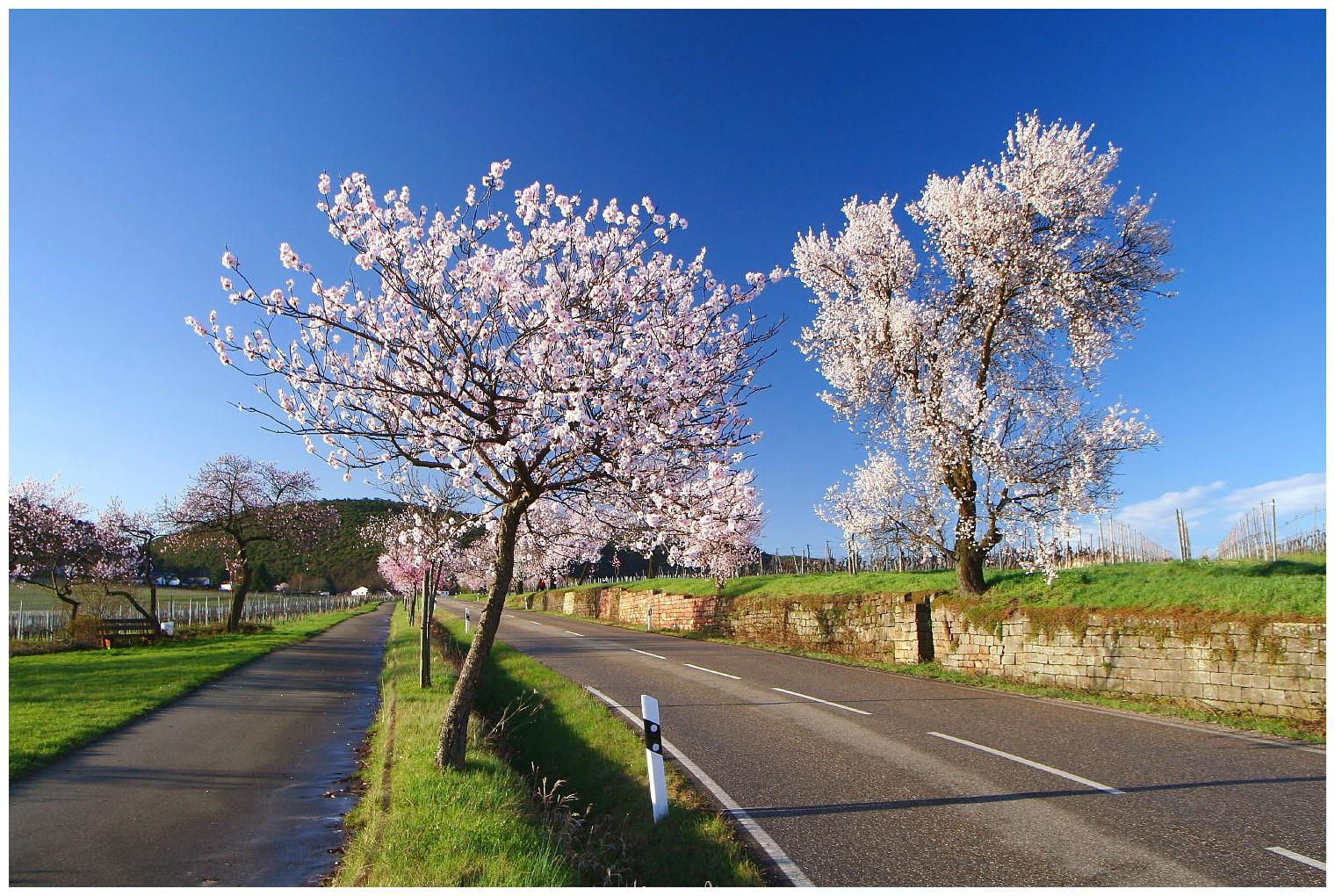 Die Pfalz im Blütenrausch I