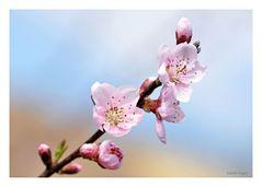 die Pfirsichblüte