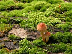 Die Pilze im Moos
