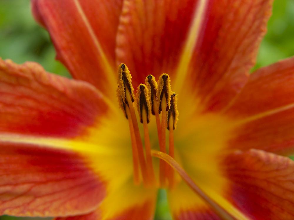 Die Pinsel der Lilie