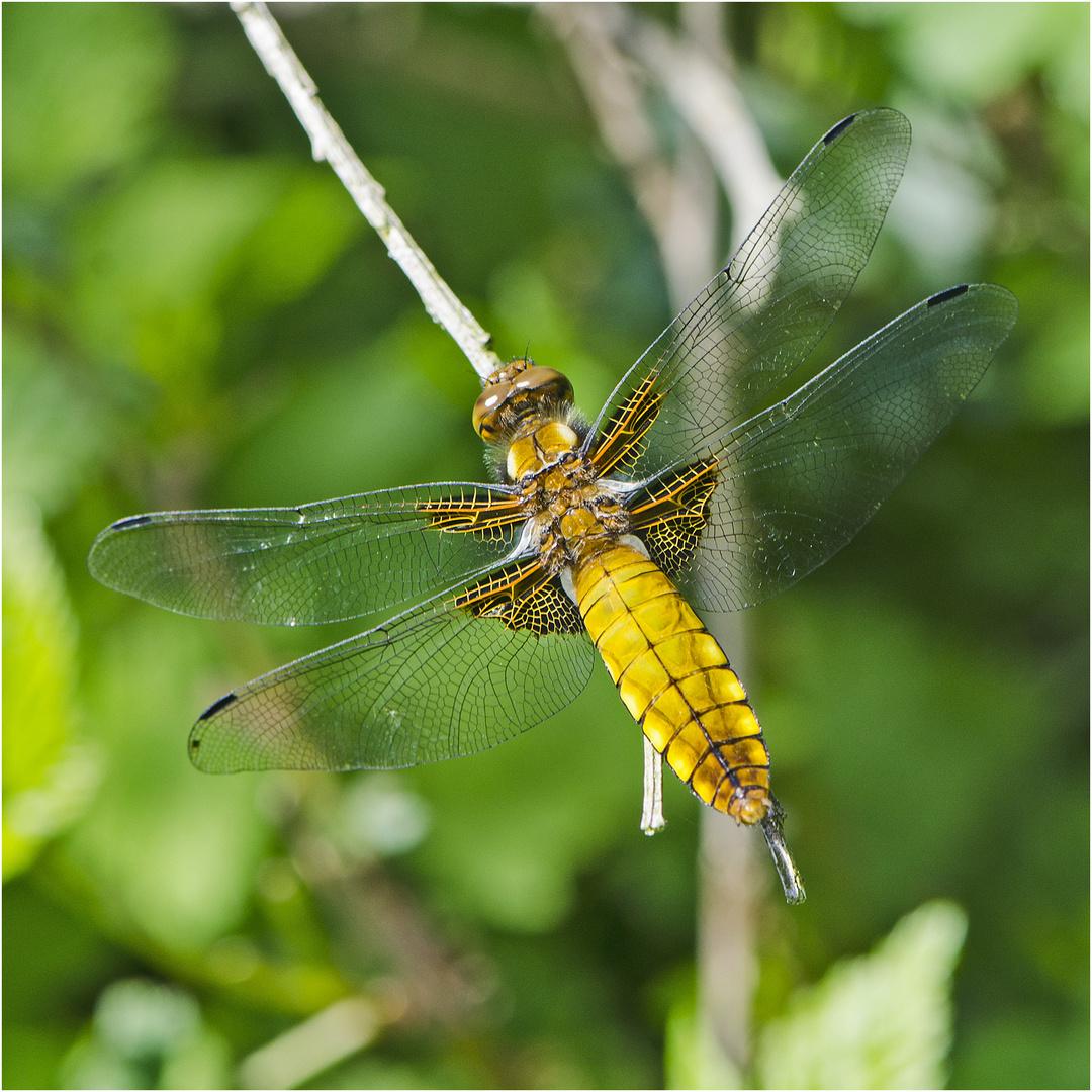 Die Plattbauchlibelle (Libellula depressa) entdeckte ich . . .