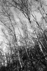 Die Pollen im Birkenwald