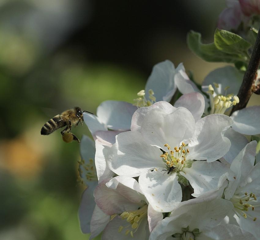 Die Pollensammlerin 2