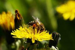 Die Pollensammlerin
