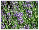 Die Provence in heimischen Garten?