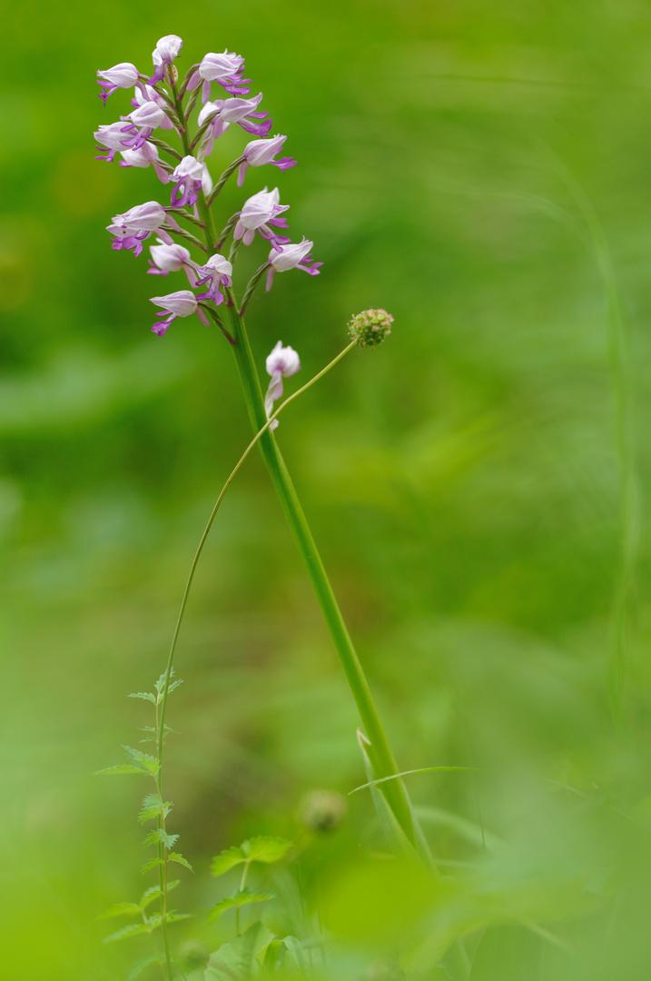 Die purpurnen Orchideen