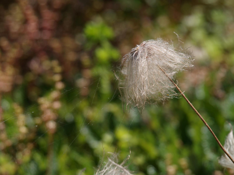 die Pusteblume gefangen im Spinnennetz