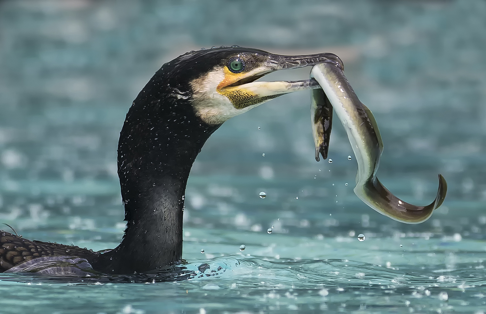 Die Qual mit dem Aal