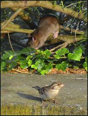 Die Ratte ...