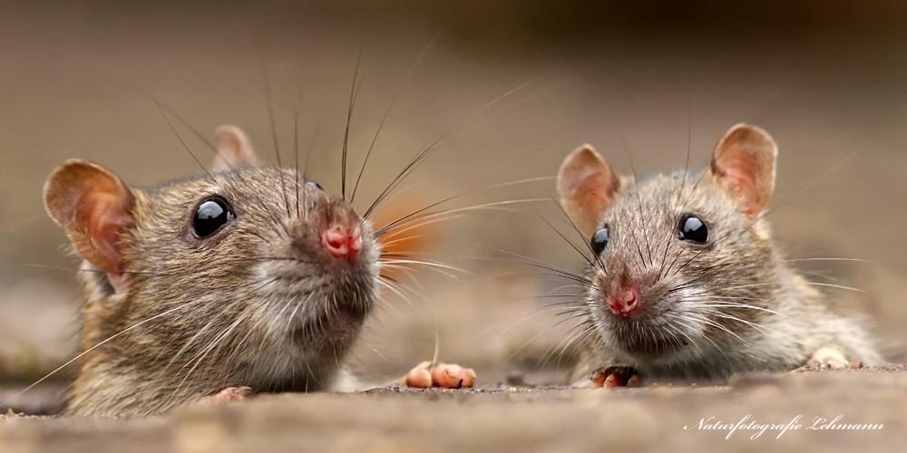 Die Ratten (Rattus)