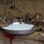 die Ratten von Karni Mata
