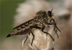 Die (Raub) Fliege