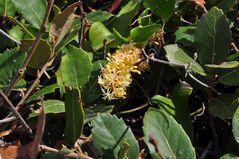 Die Raue Stechwinde (Smilax aspera)