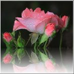 Die Regen Rosen