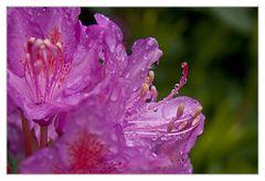 Die Rhododendren blühen in Irland besonders üppig