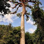 Die Riesen in Tikal