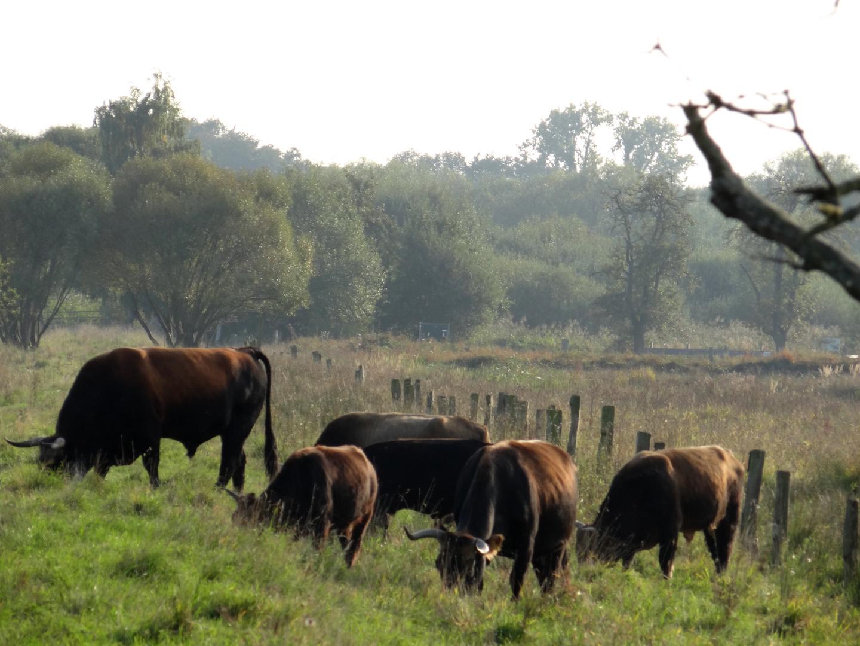 Die Rinder von den Rieselfeldern