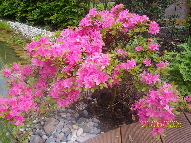 die rosane pflanze am teich foto bild pflanzen pilze flechten bl ten kleinpflanzen. Black Bedroom Furniture Sets. Home Design Ideas