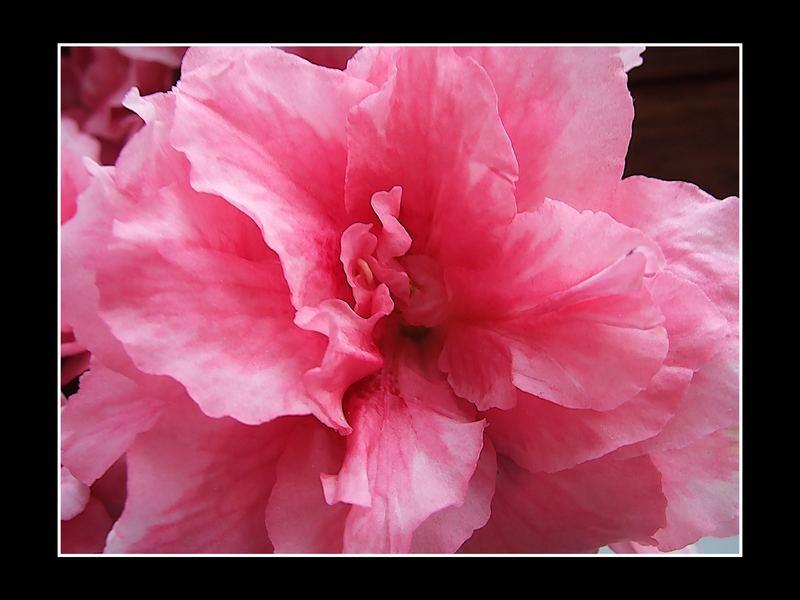 Die rosarote Blume