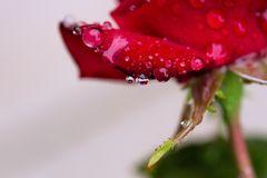 die rose ...