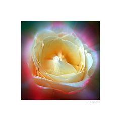 - die Rose -
