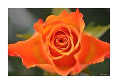 die Rose....