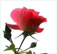 Die Rose,