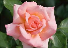 Die Rose aus Nachbars Garten (reloaded)