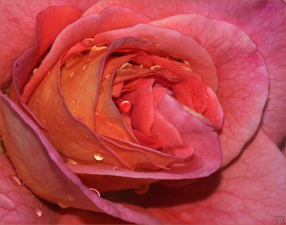 die Rose...
