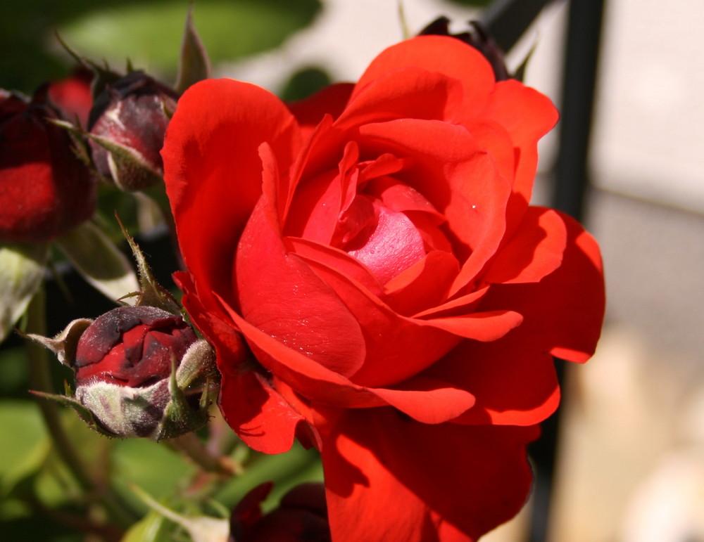 Die Rose.....