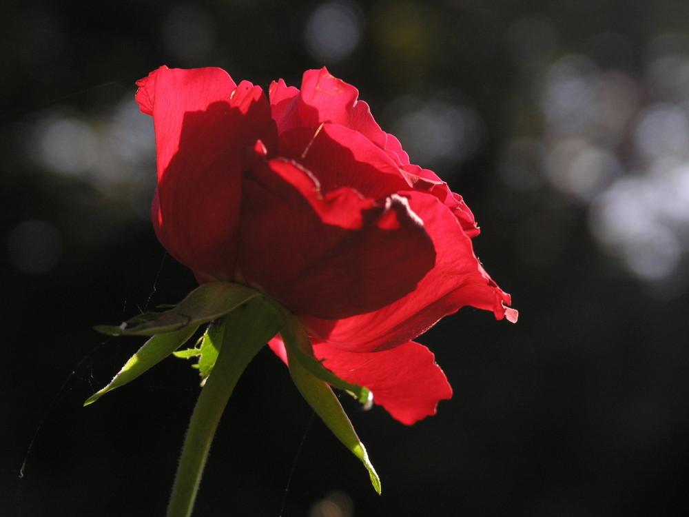 Die Rose darf nicht fehlen