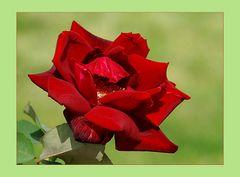 Die Rose der Liebe # La rosa del amor