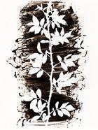 Die Rose Fotogramme