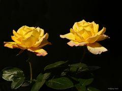 Die Rose Gloria Dei im Doppelpack