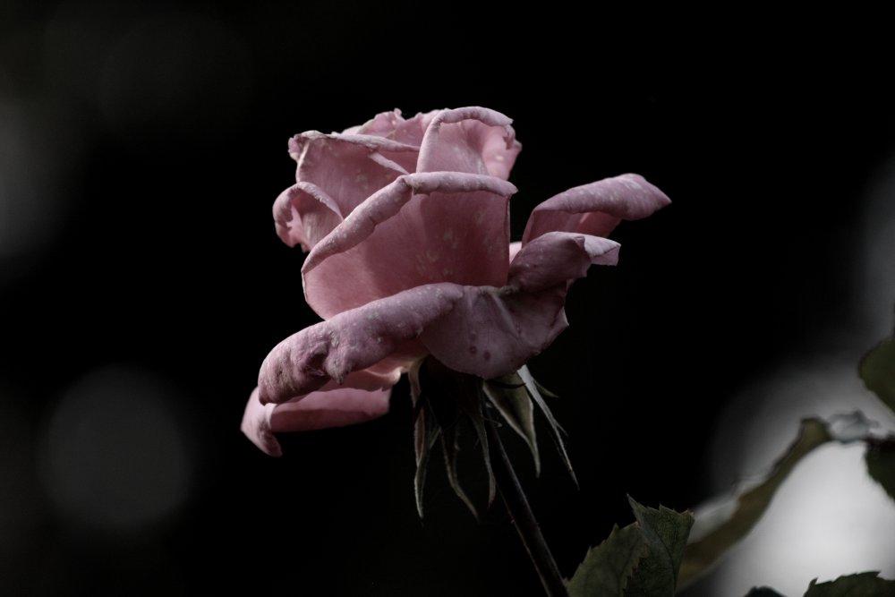 Die Rose im Abendlicht