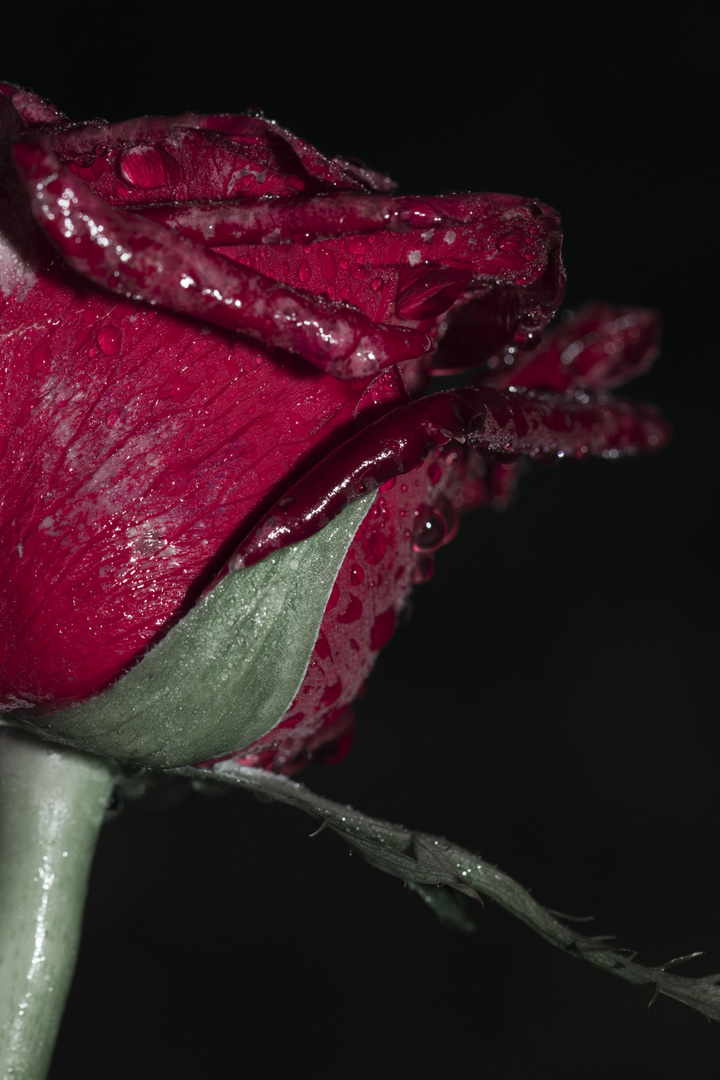 Die Rose im im Tau