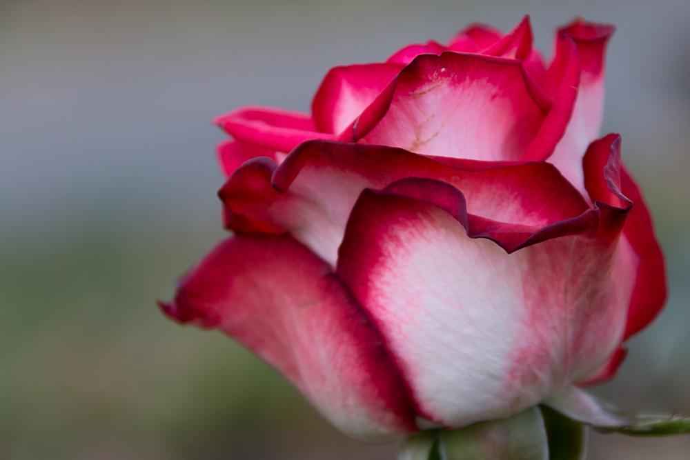 Die Rose (in Farbe)